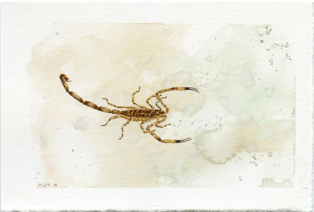 Lesser Brown Scorpion
