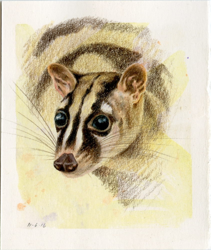 Owston's Banded Palm Civet