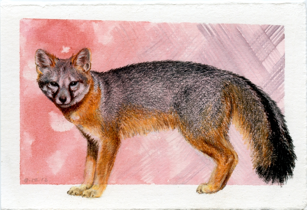 California Island Fox