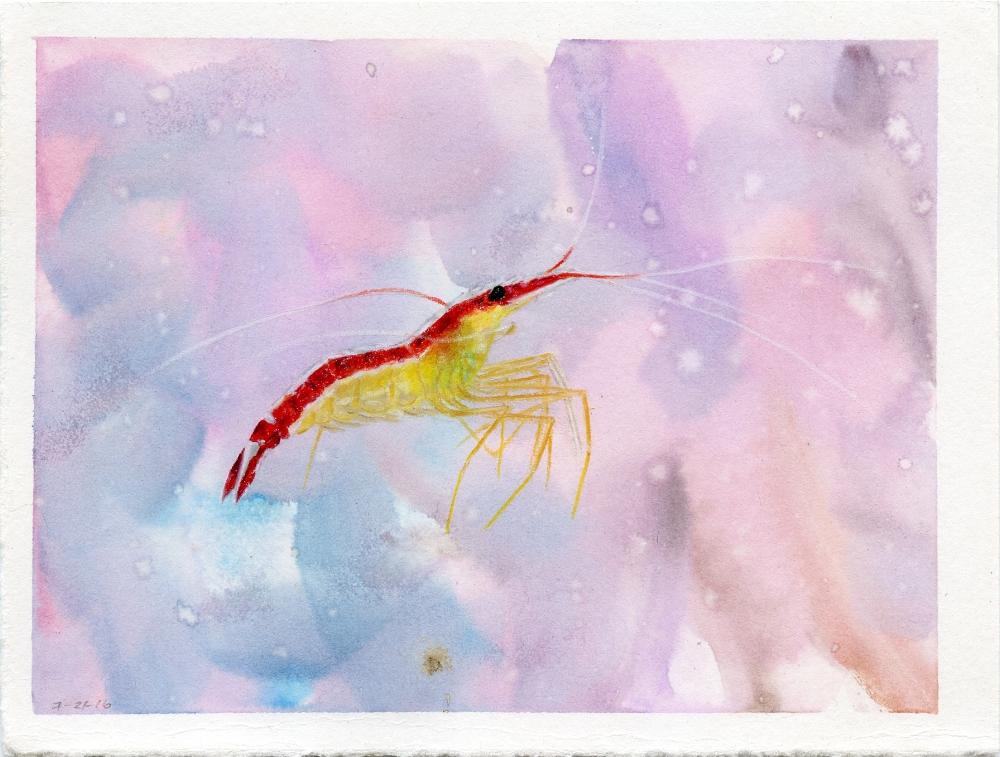 Scarlet Skunk Cleaner Shrimp