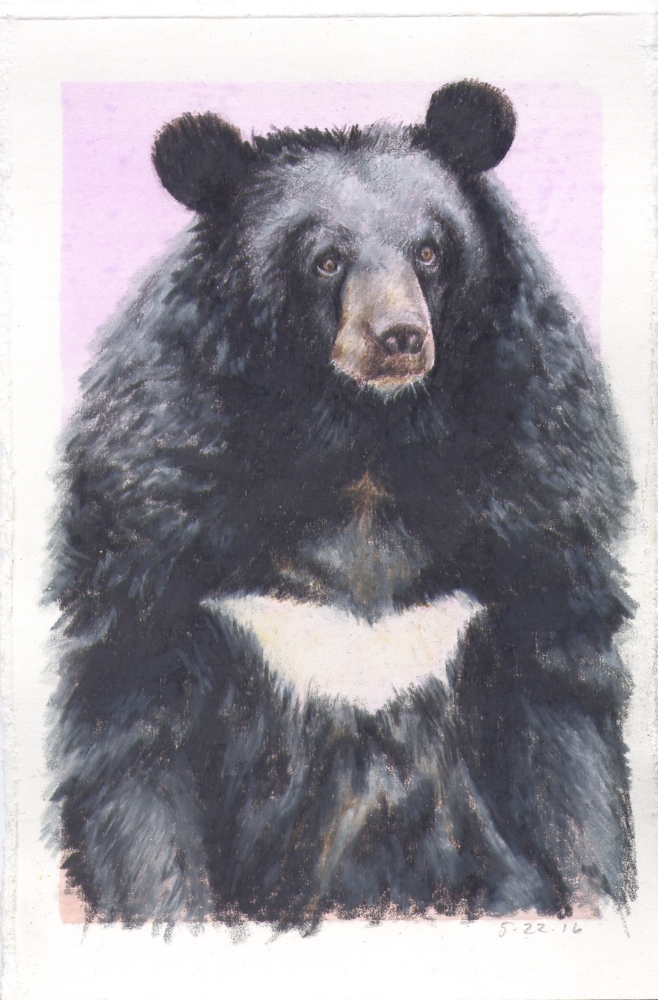 Asian Black Bear (Moon Bear)