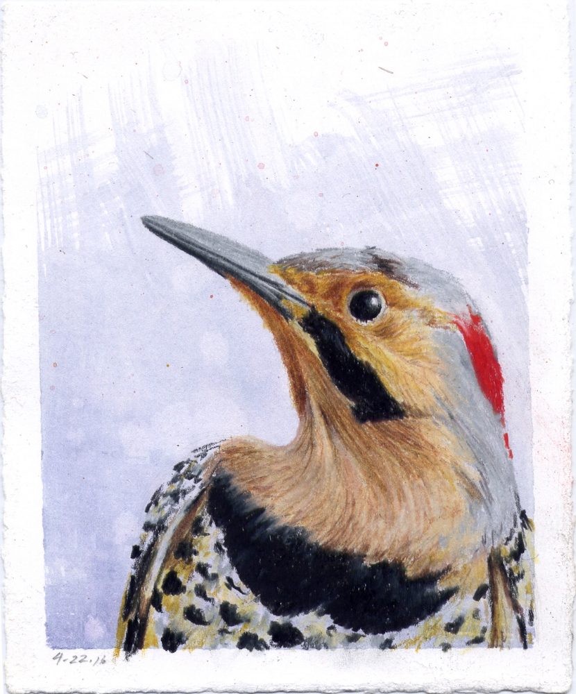 Male Yellow Shafted Northern Flicker