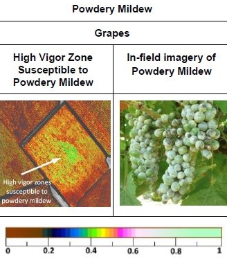 Powdery Mildew - Grapes.JPG