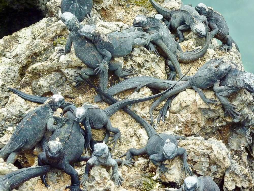 Leguanen