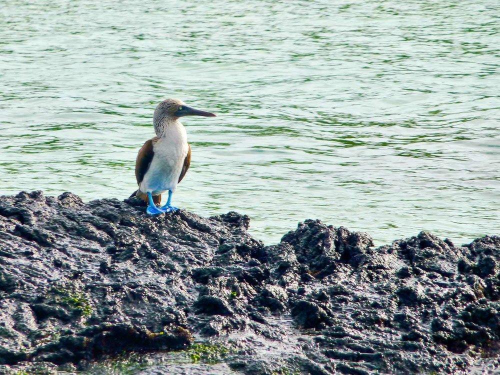 ReisSensatie bezoekt Ecuador en de Galapagos eilanden - een blauwvoetgent op een rots op de Galapagos eilanden