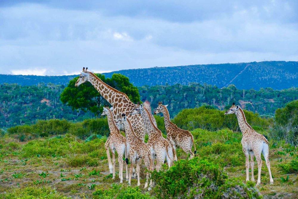 ReisSensatie op bezoek in Zuid-Afrika - Een giraf familie tijdens onze safari