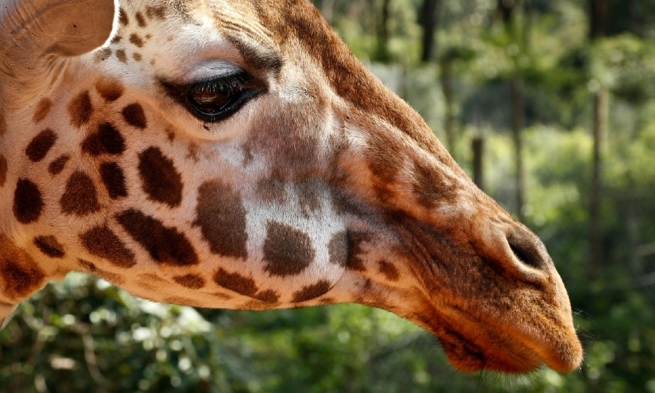 Giraffes, Rarer Than Elephants, Put on Extinction Watch List    The giraffe, the tallest land animal, is now at risk of extinction, biologists say.
