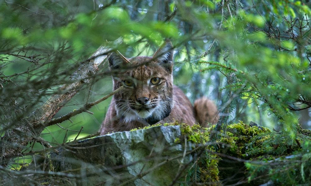 Stunning Photos of Switzerland's 'Ghost Cats'    An elusive predator returns to Europe's mountains, helping restore nature's balance.