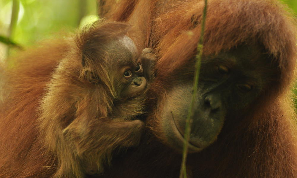Arrival of Baby Orangutan is a Symbol of Hope for Conservation in Sumatra    One of the last great stands of rain forest in the deforestation hotspot of the Indonesian island of Sumatra has welcomed an exciting new addition.