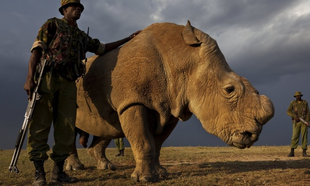 Northern White Rhinos Guarded as 1 Male Left Worldwide    With 1 male left worldwide, Northern White Rhinos are under guard 24 hours.