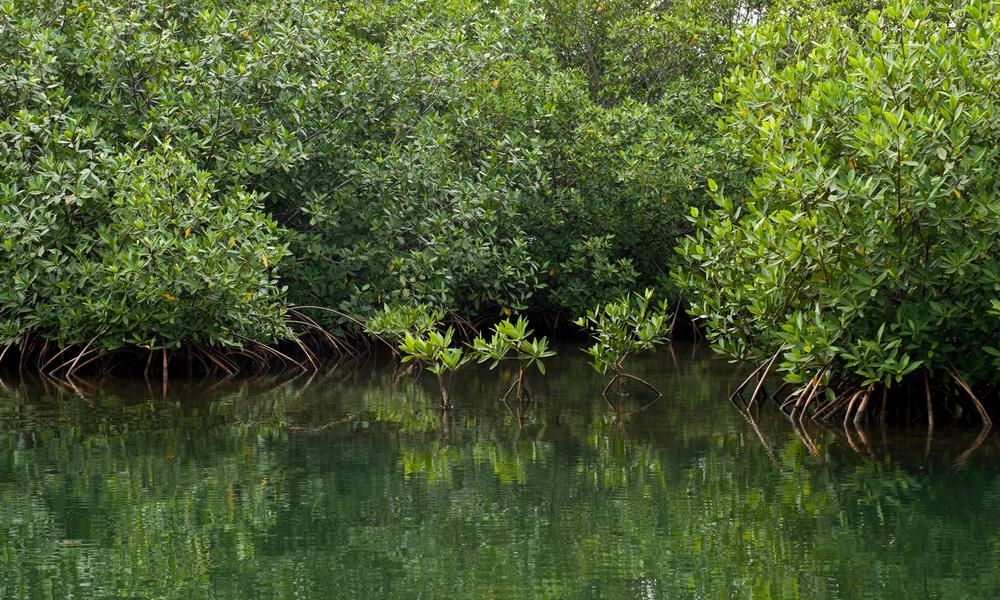 Mangroves mean life for coastal communities throughout the tropics    While mangroves provide valuable services for people and the planet, they're disappearing at an alarming rate and human activity is mostly to blame.