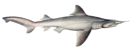 Carcharias_oxyrhynchus_by_muller_and_henle.png