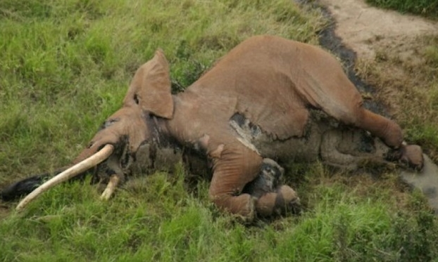 One of Africa's Last Great Tusker Elephants Was Killed By Poachers    The massive Satao II was found dead in Kenya, likely shot by a poisoned arrow. Conservationists are mourning the loss.