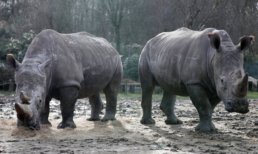 Poachers Break Into French Zoo, Kill White Rhino And Steal His Horn    Poachers forced their way into a French zoo and killed a southern white rhinoceros named Vince, sawing off one of his horns before fleeing into the night.