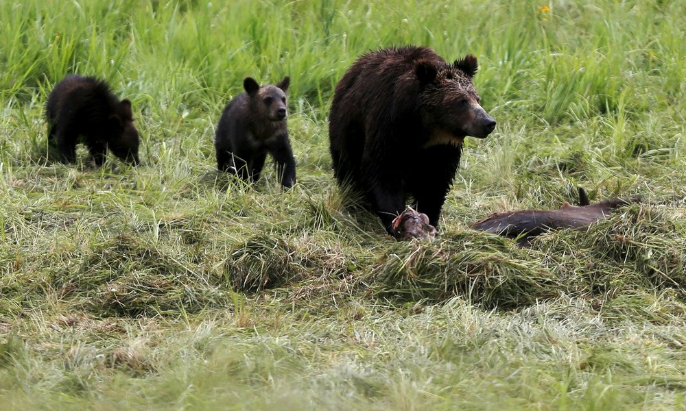 Yellowstone Grizzly Bear to Lose Endangered Species Protection .   States alone will make the call on dealing with nuisance bears — and will probably include a hunting season for grizzlies.