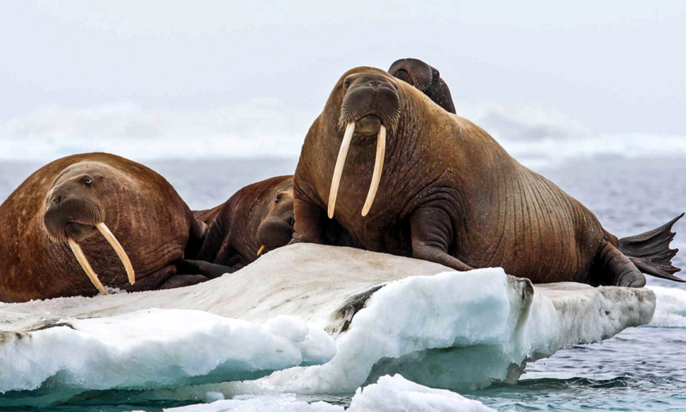 Loss Of Arctic Sea Ice Causes Earliest Pacific Walrus Haul Out Ever    Hundreds of walruses have hauled out of Arctic waters due to declining sea ice levels, the U.S. Fish and Wildlife Service announced Wednesday.