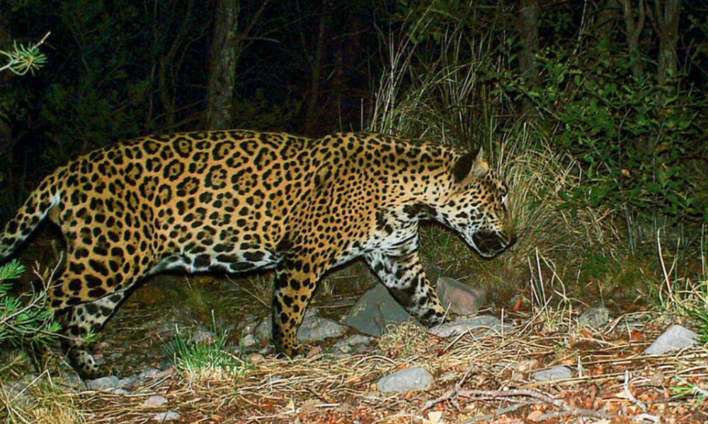 How Trump's Border Wall Could Block the Most Exciting Wildlife Comeback in North America    In the last decade, a string of jaguar sightings in the American Southwest has electrified residents of Arizona and New Mexico and fascinated people worldwide.