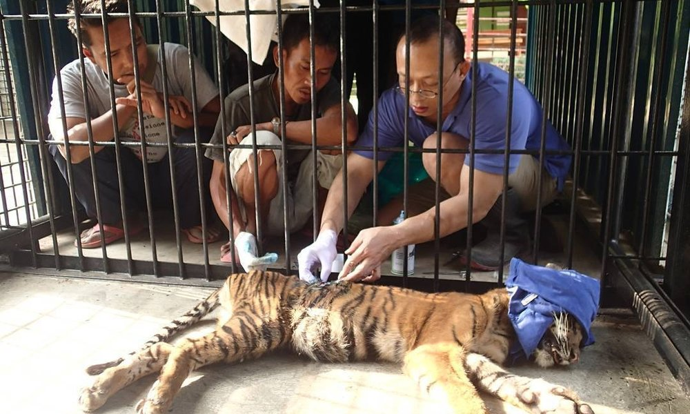 What It's Life to Rehabilitate One of the World's Most Endangered Tiger Cubs    In October 2015, our partner Tambling Wildlife Nature Conservation (TWNC) found an abandoned three-month-old female Sumatran tiger cub in a national park in Sumatra, Indonesia.