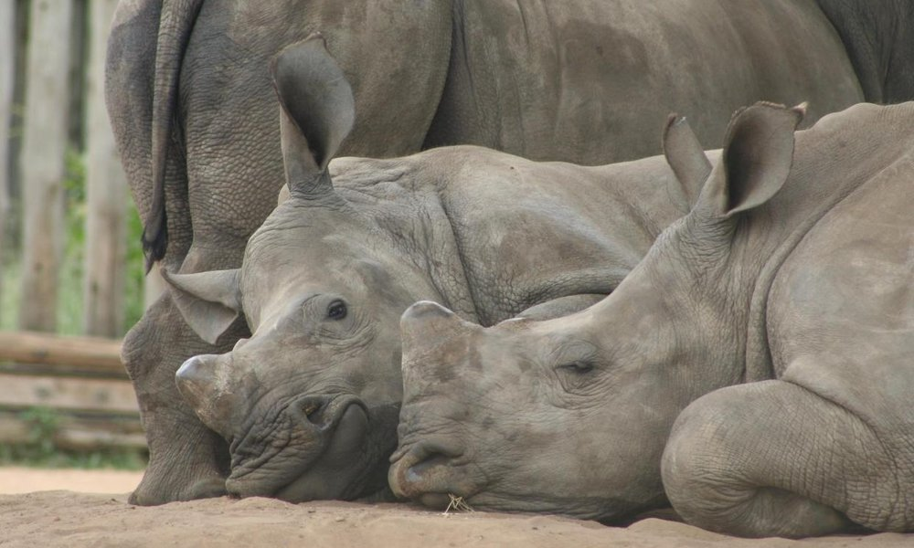 Rhino poaching: Latest figures show a decade of bloodshed in South Africa    When just 13 rhinos were poached in South Africa in 2007, it seemed like the problem was nearly under control – but over a 10-year period, the numbers soared.
