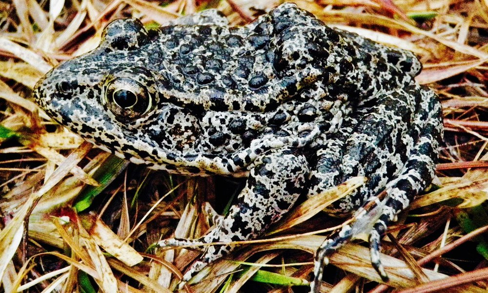 A new Supreme Court case pits a timber company against an adorable endangered frog    This frog is at the center of a new Supreme Court case that pits a major global timberland owner against US government efforts to bring the frogs back from the brink of extinction.