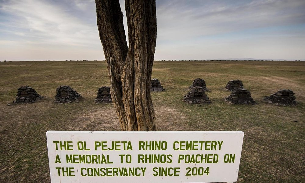 Rhino graveyard highlights poaching threat in Kenya    A tombstone marking the final resting place of a 12-month pregnant rhino felled by poachers stands conspicuously amid 15 others, under a tree at Ol Pejeta Conservancy in Kenya's central Laikipia County.