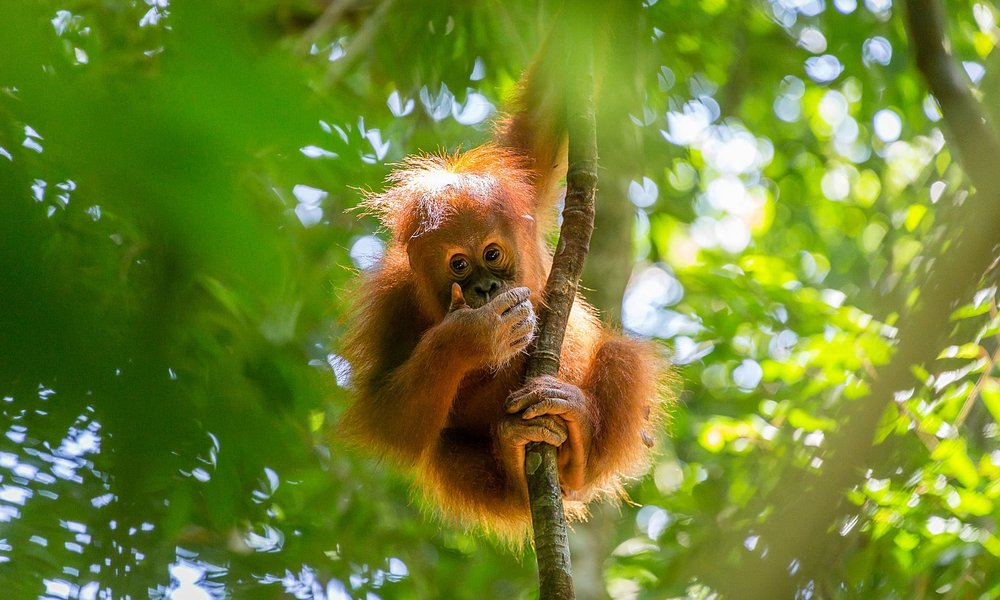 Borneo's orangutan numbers at shocking new low after sixteen years of     devastation     Orangutan numbers in Borneo dropped by almost 150,000 between 1999 and 2015, according to report published by scientists this week