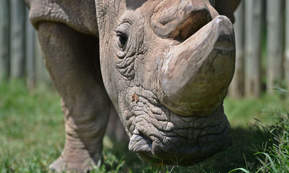 Extinction Watch: When the Last of a Species Falls Il    Sudan, the last male Northern White Rhino, has an infection. Conservationists hold their breath.