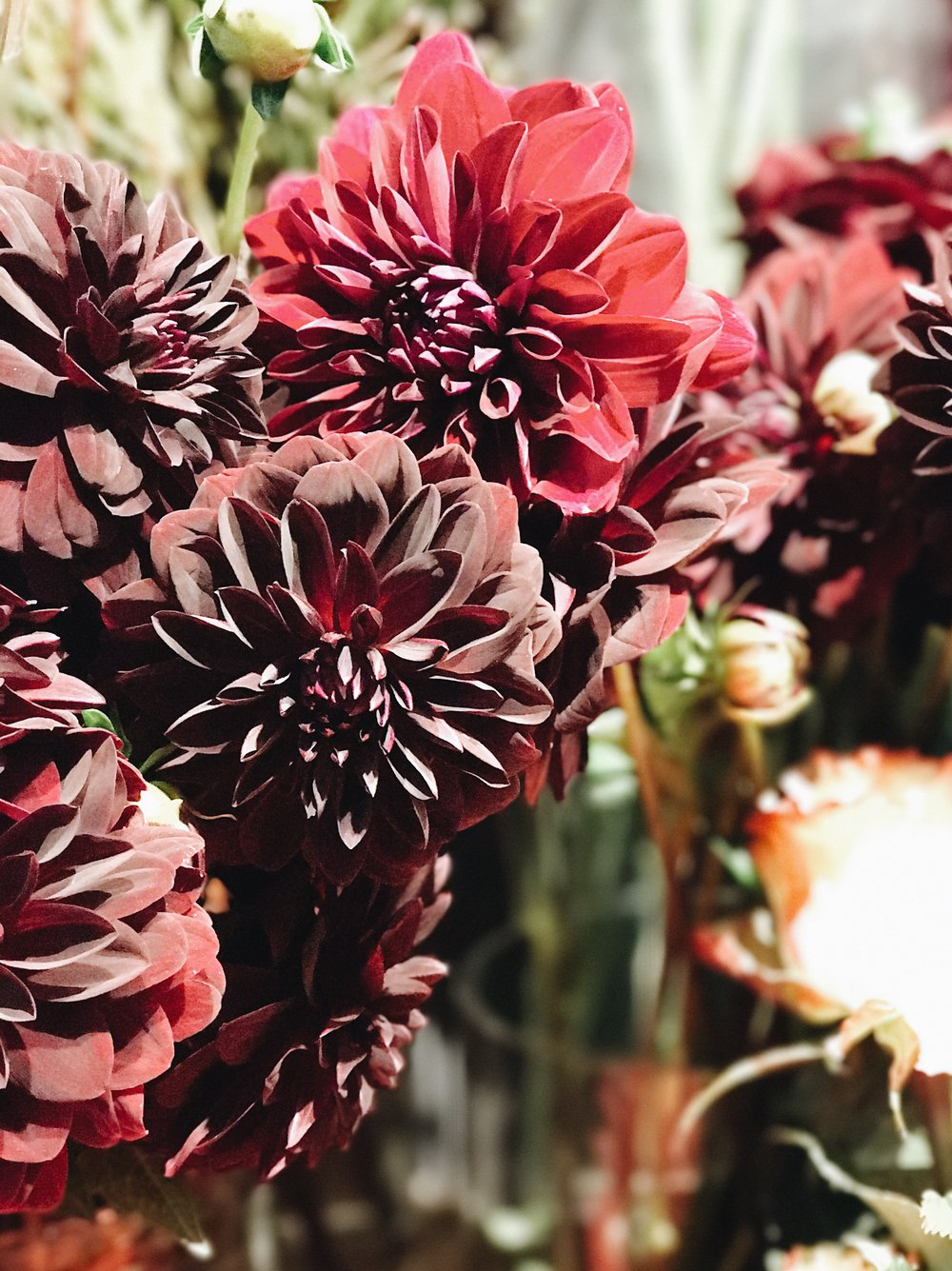 Fall Flowers 101, Dahlias, Nyla Free Designs Inc.