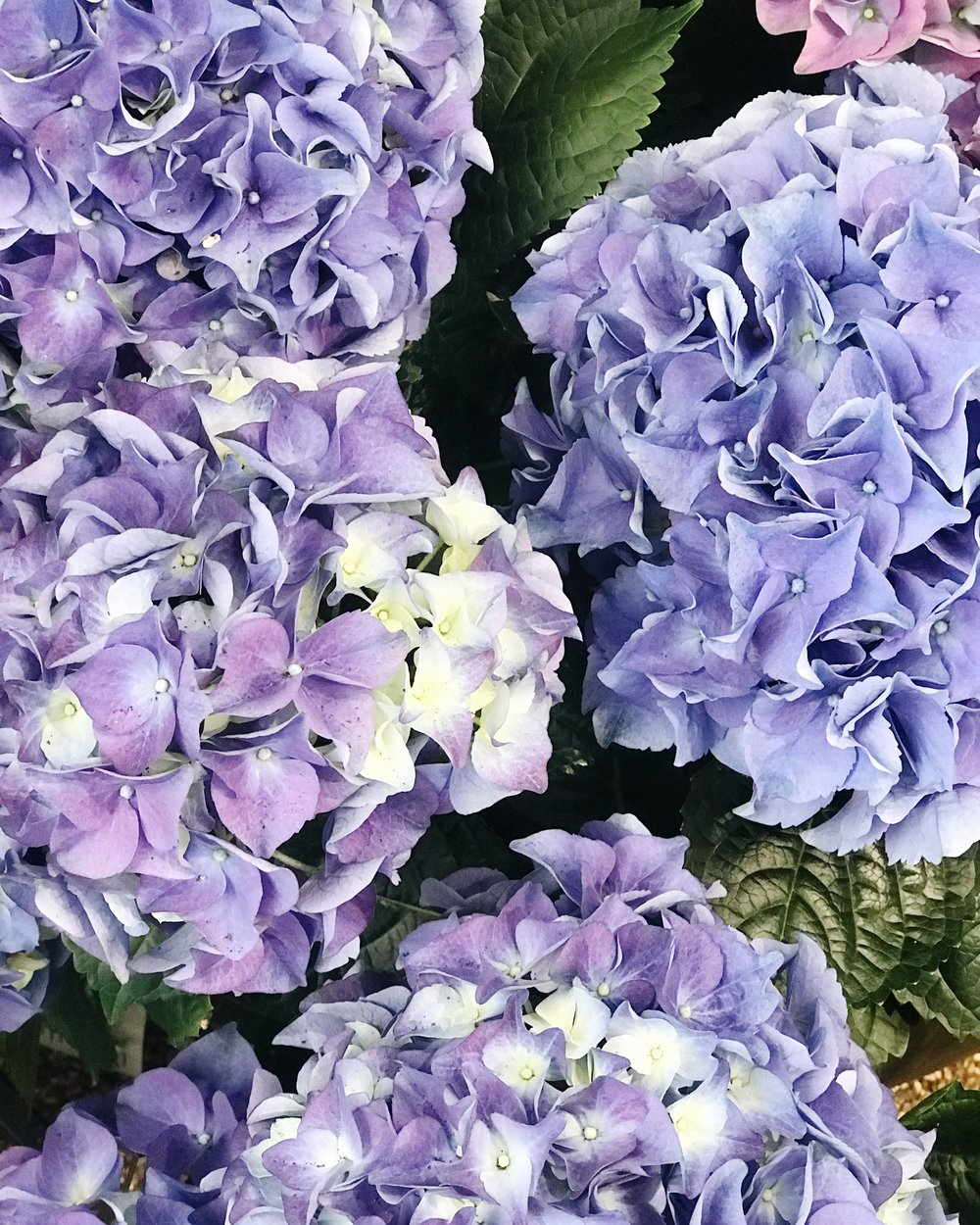 Spring Flowers 101, Hydrangeas, Bringing fresh flowers into your interior design and home decor, Nyla Free Designs, Calgary Interior Designer