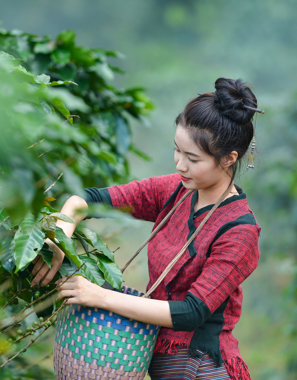 stock-photo-beautiful-girls-laos-is-harvesting-coffee-berries-in-her-coffee-farm-at-pakse-laos-girl-southeast-549192028.jpg