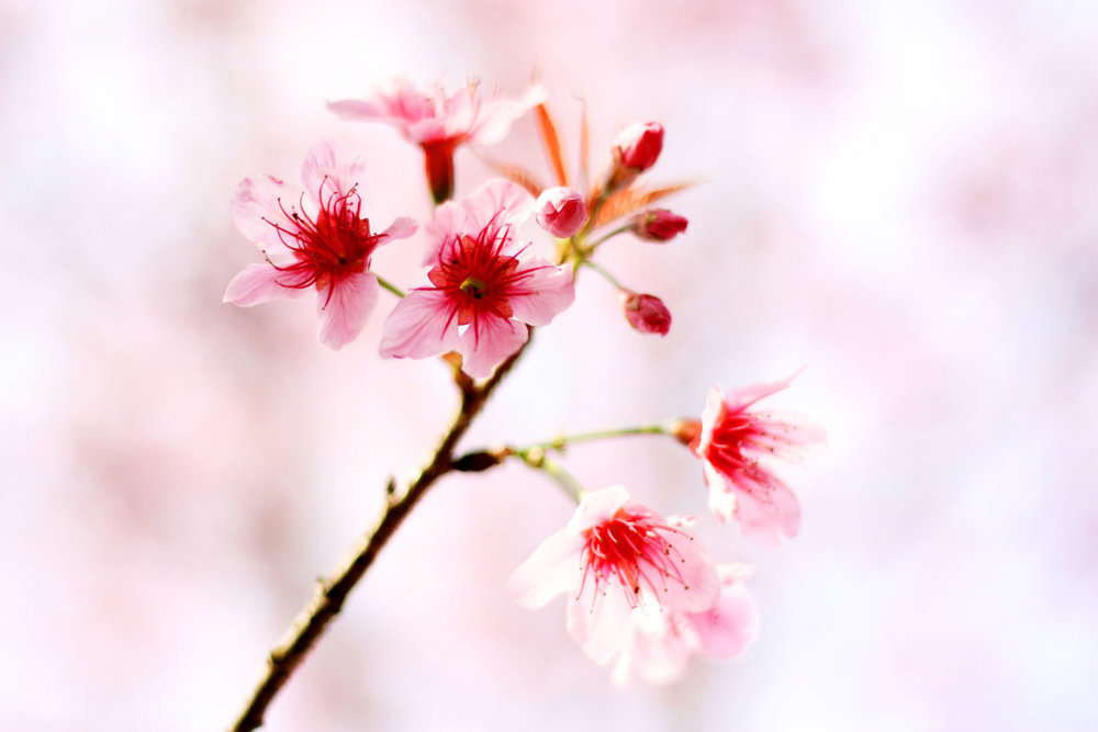 Beautiful pink cherry blossoms found in northern Thailand.  Source