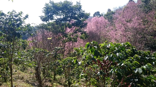 Cherry blossoms acting as shade trees for the coffee crops.  Source