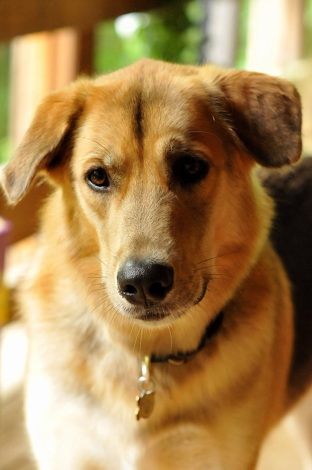 Jelly  is an 85-pound Golden Retriever/Siberian Husky mix who adores being with kids and with adults. He is everybody's best friend.
