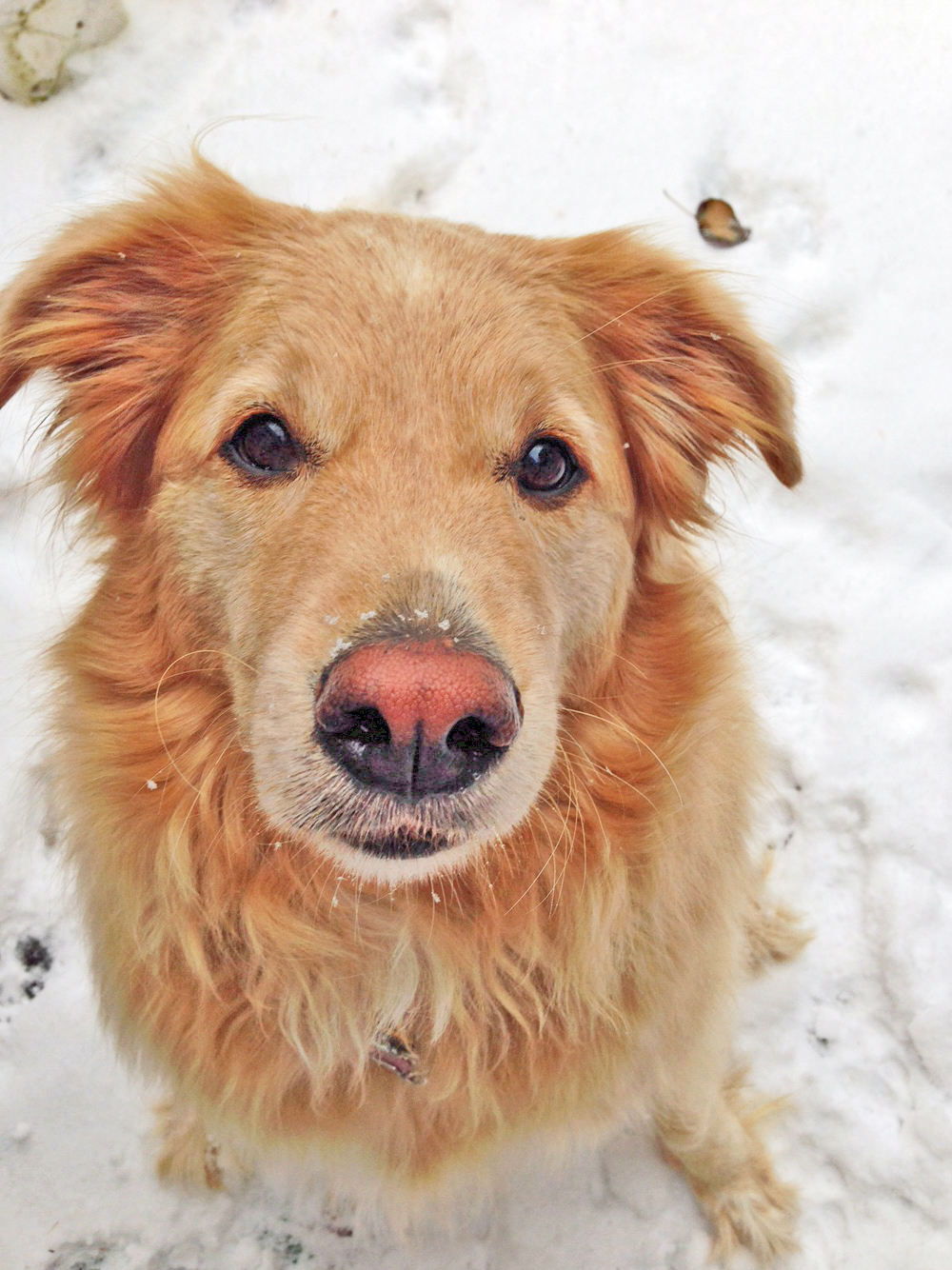 Daisy    is a six-year-old Golden Lab mix with a calm, gentle, and oh so loving nature. And snow. She loves the snow!