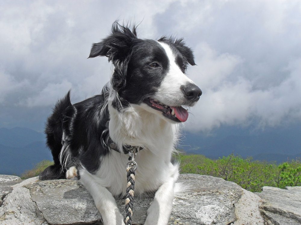 Bryn    has been a therapy dog for the past eight of her ten years. She loves snuggling, hiking, and herding sheep.