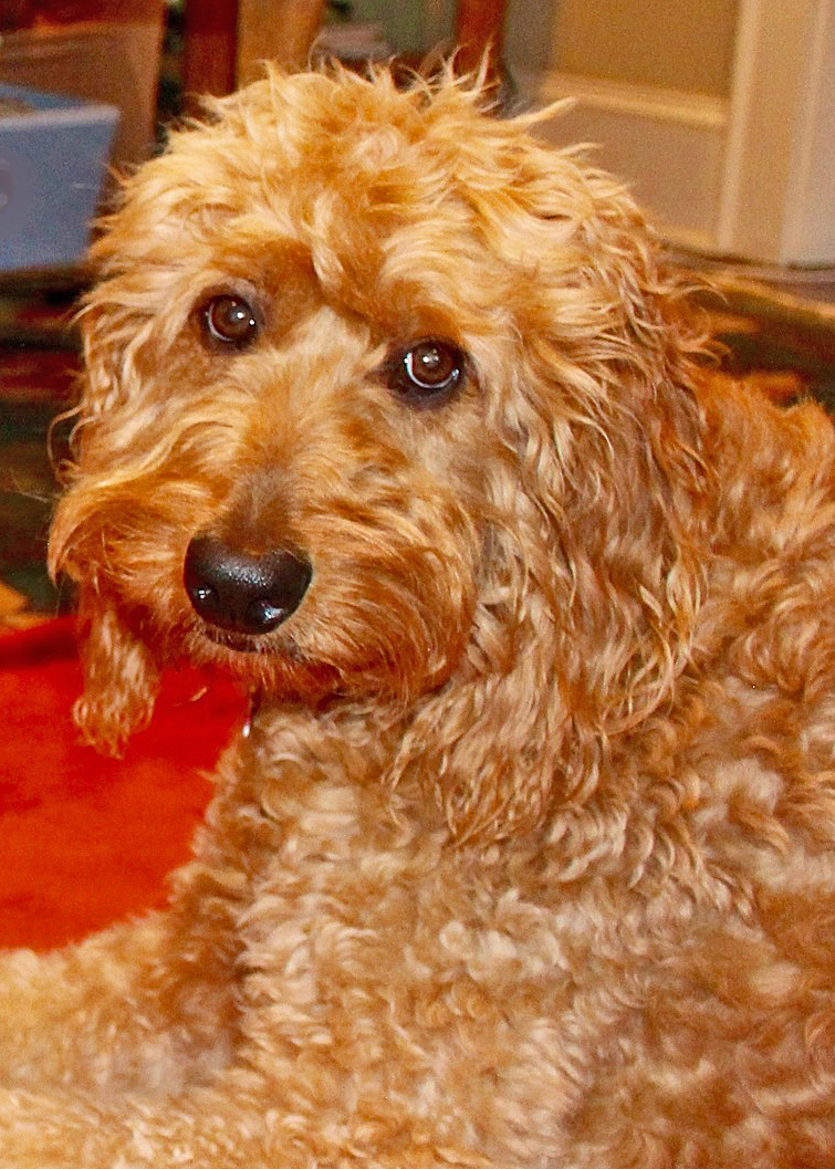 Rowan  is a Goldendoodle who is friendly, affectionate, and playful. Her nickname is Goof Ball because she is so silly.