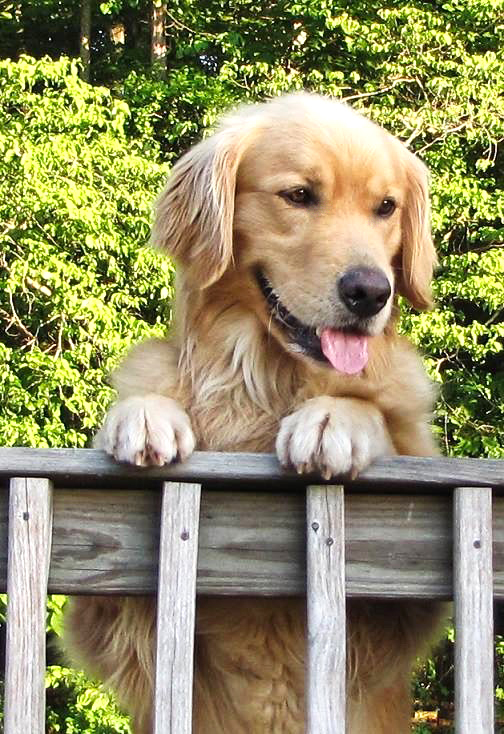 Doc    is a 90-pound bundle of Golden Retriever compassion who fancies himself a lap dog. He is calm, gentle, and loves to cuddle!