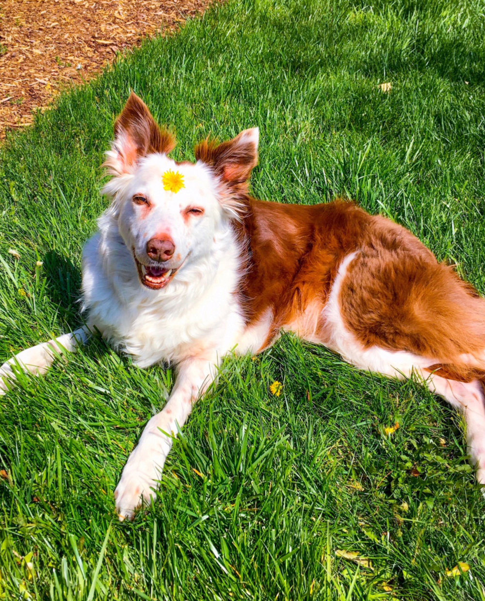 Kaylee    is a seven-year-old Border Collie rescue loves people and has never met a stranger! This calm sweetheart also enjoys walk and car rides.