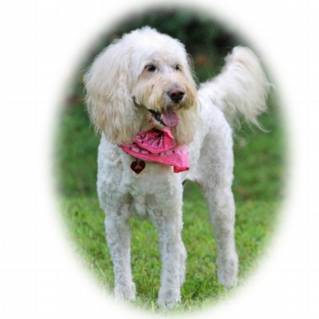 Kay Loveland's Misha , a gorgeous and highly intelligent Goldendoodle   (she could read 30 words!) was a super loving and sensitive pet therapy dog who brought joy to so many. (June 22, 2018).