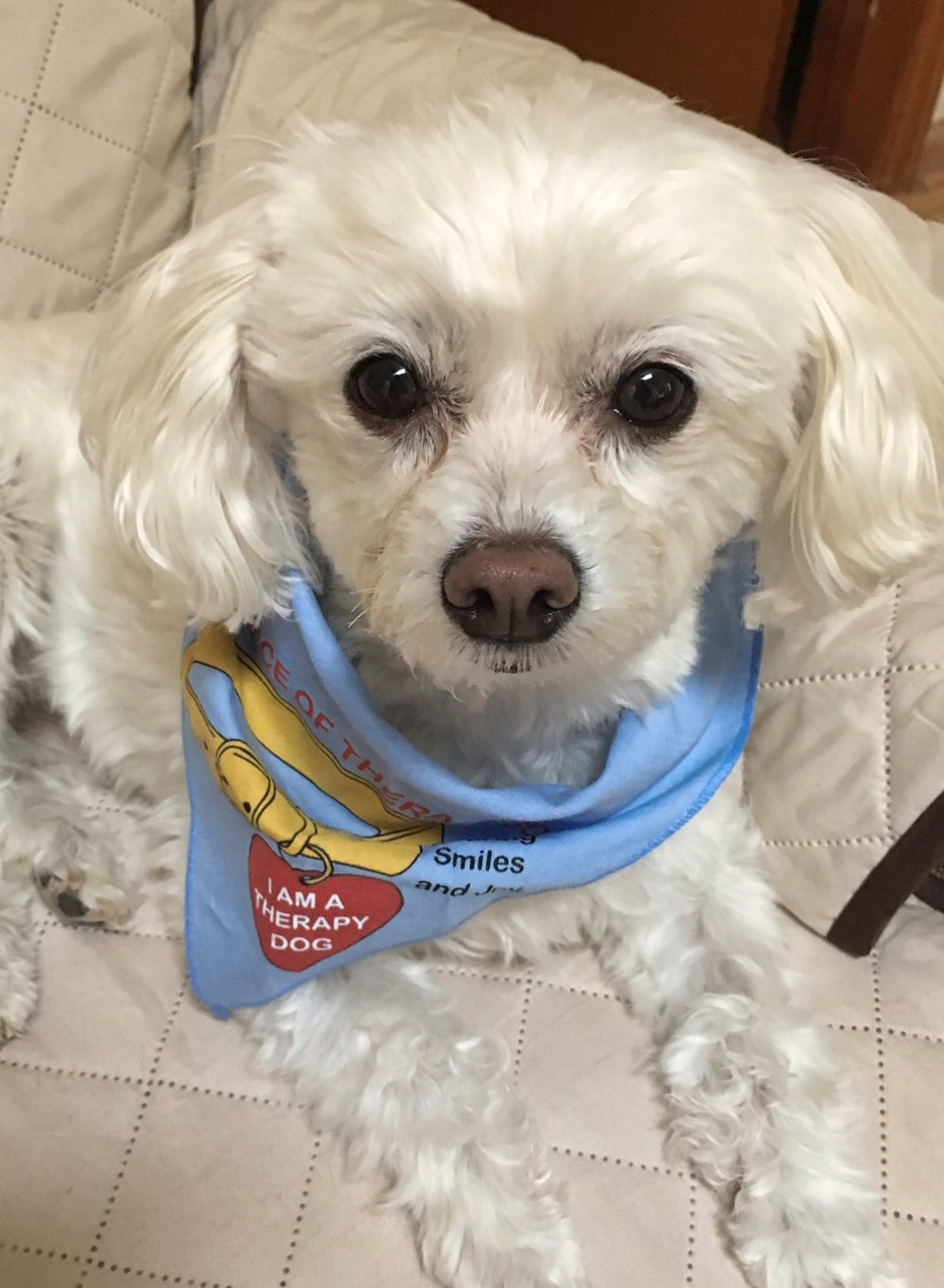"Sophie    is a 12-pound       is a Maltipoo (a Poodle and Maltese mix). She loves to give ""puppy kisses'"" and to be petted, and.has made many friends through her work as a therapy dog!"