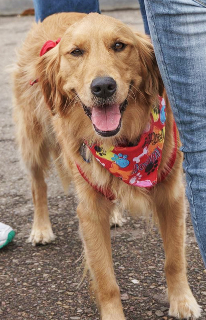 Hope    is an affectionate and sensitive Golden Retriever who loves meeting people and doing pet therapy (she is Faith's big sister).