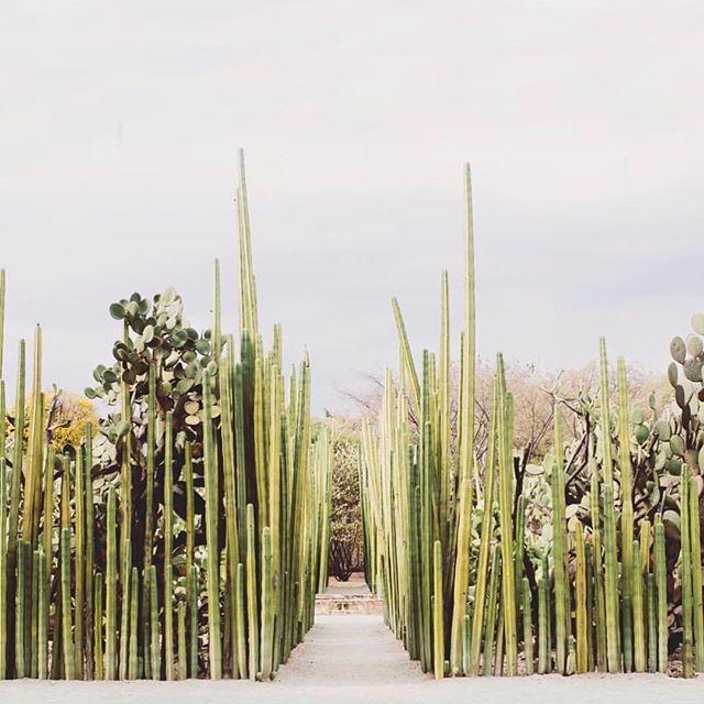 cactus heaven | via @thewanderly . . . . . #habitconcept #cactus #thewanderly #cacti #cactuslove #cactusclub #jungalow #greenery #deserts #desert #plants #plantlove #oaxaca #oaxacamexico #mexico #wanderlust #ohwowyes #pursuepretty #cactusgarden #passionpassport #abmlife #abmlifeiswonderful