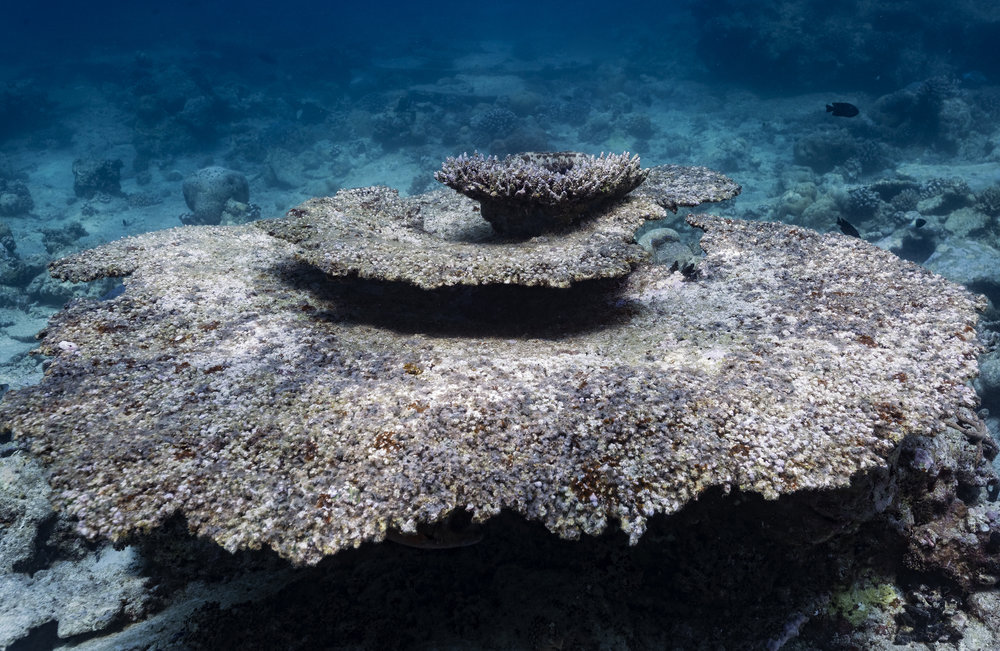 A dead table coral after the recent mass bleaching