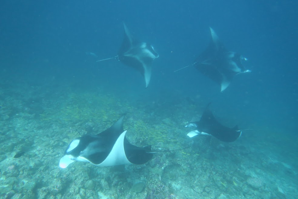 A congregation of Mantas (photo: Dominique P).