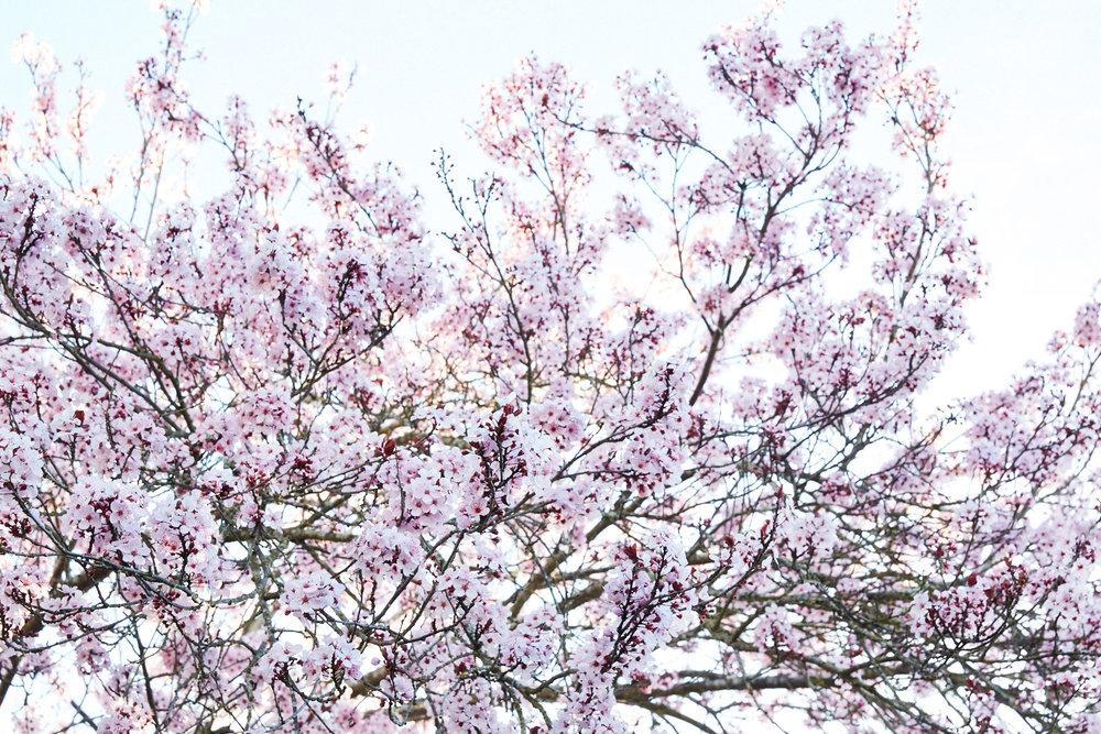 Spring Blooming Cherry Tree in Backyard