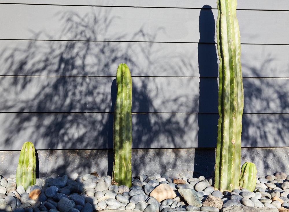 Cacti in Backyard