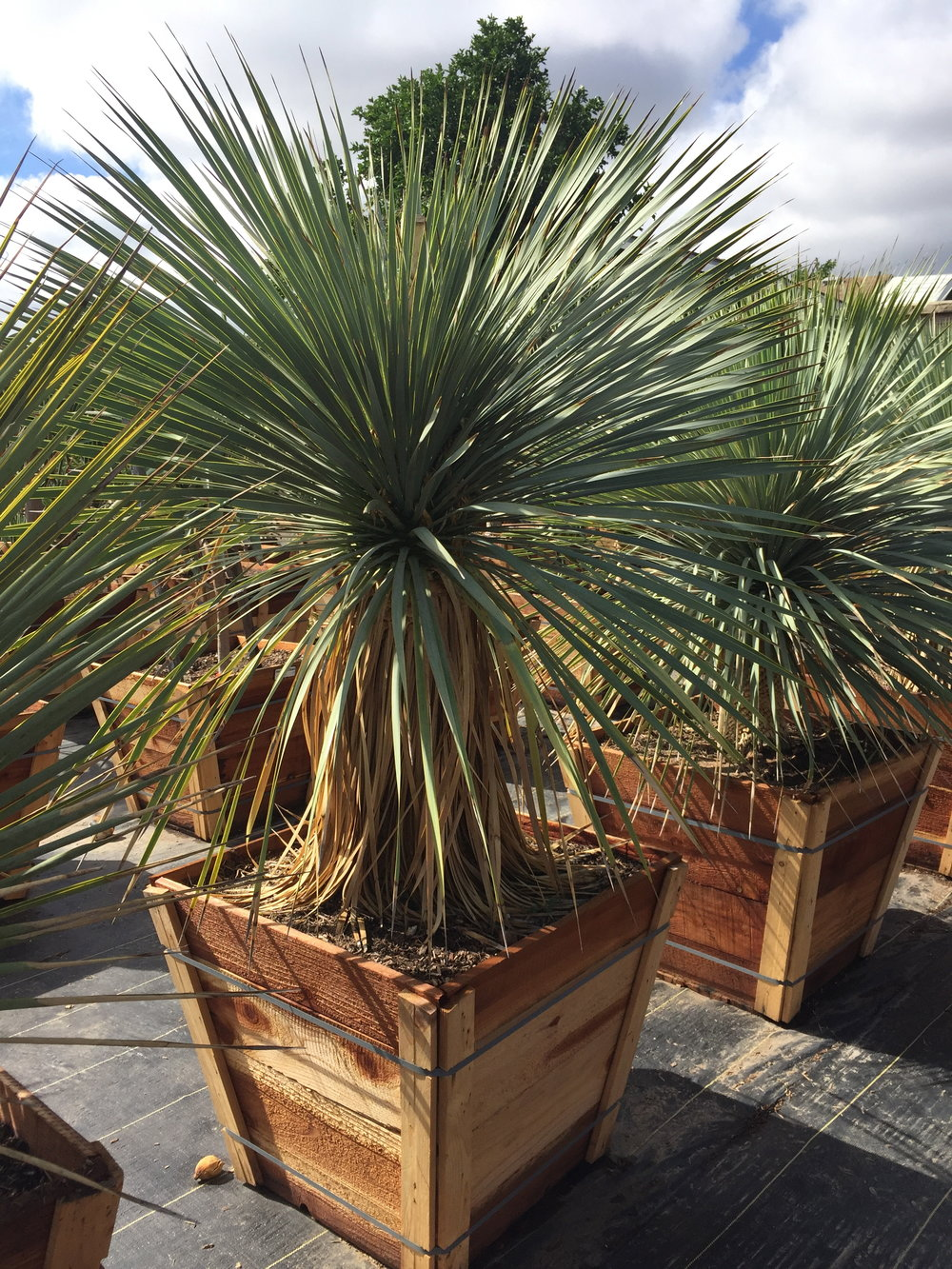 "24"" box - Yucca rostrata - Big Bend Yucca"