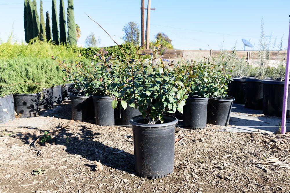 5 gal - Trachelospermum jasminoides - Star Jasmine
