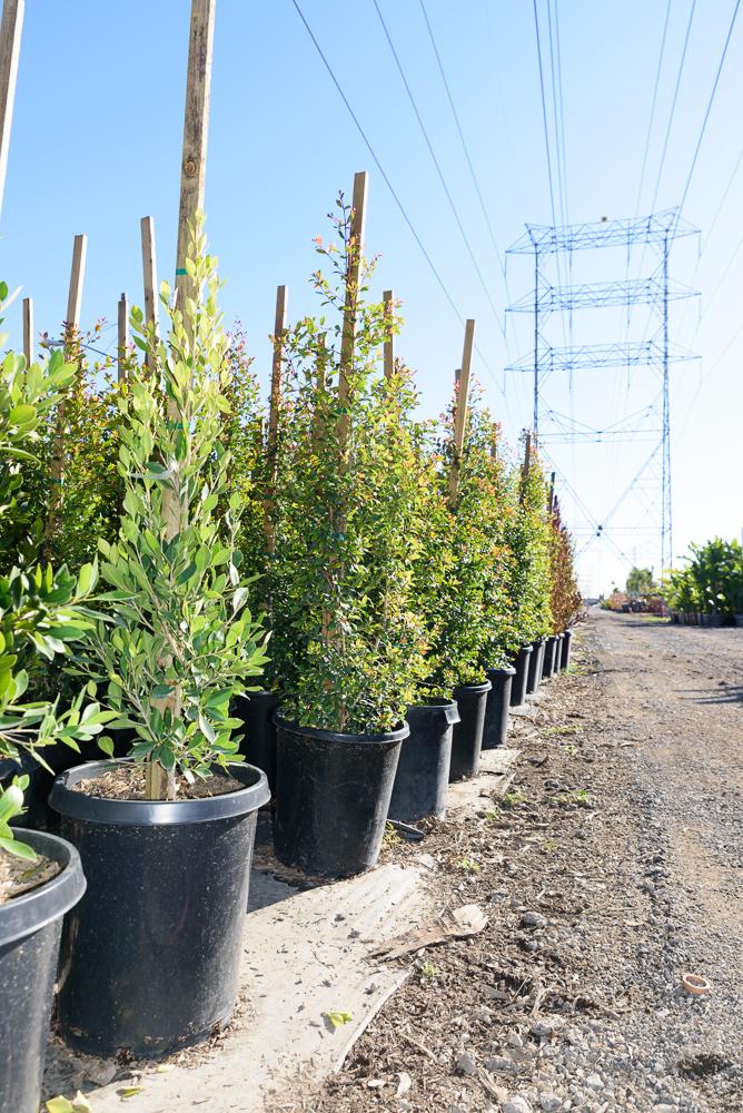 15 gal - Elaeocarpus decipiens - Japanese Blueberry Tree