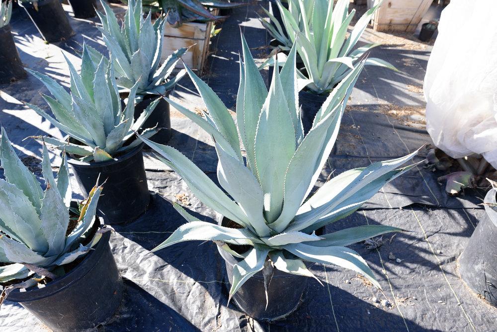 15 gal - Agave americana - Centuryplant